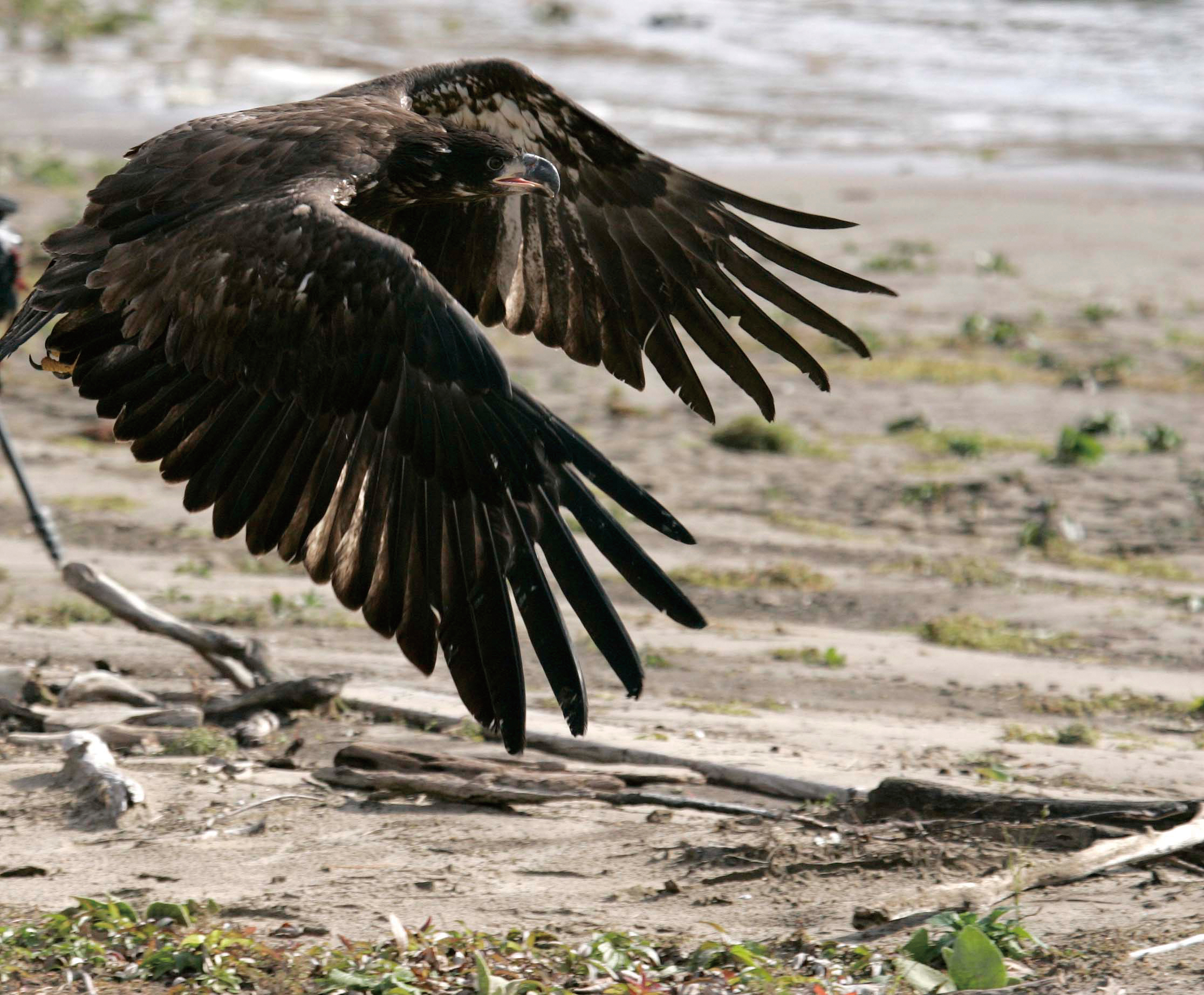 In this photo taken Nov. 12, 2011, the second of two young bald eagles is seen after being released on an island in the Illinois River across from Sta...