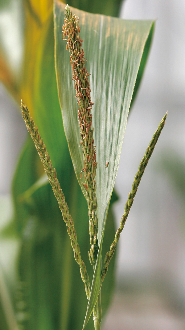 In this March 18, 2005, file photo, a developing tassel sits atop a genetically modified corn plant in a greenhouse at Iowa State University in Ames, ...