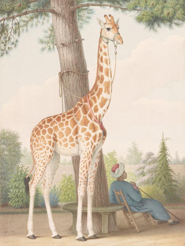 An undated handout photo of Nicolas Huet's study of a giraffe, Zarafa, at the Morgan Library & Museum. (The New York Times)