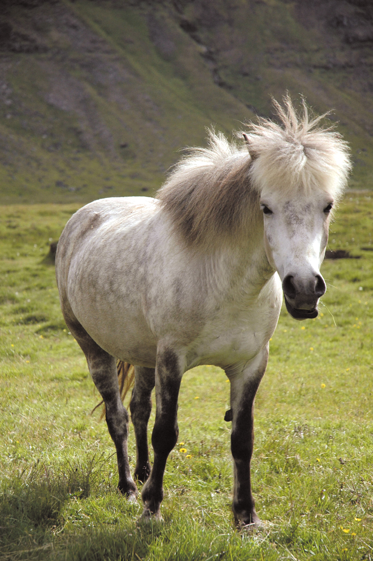 Fat ponies with gaits as smooth as hobby horses graze around Iceland.