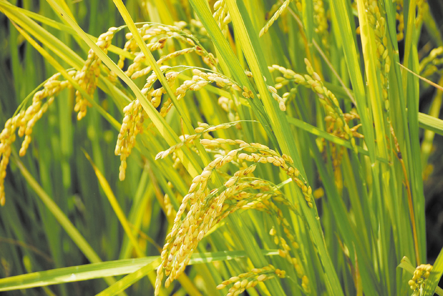 No.71 Rice is the major ingredient of Wufeng sake. Photo courtesy of Wufeng Farmers' Association