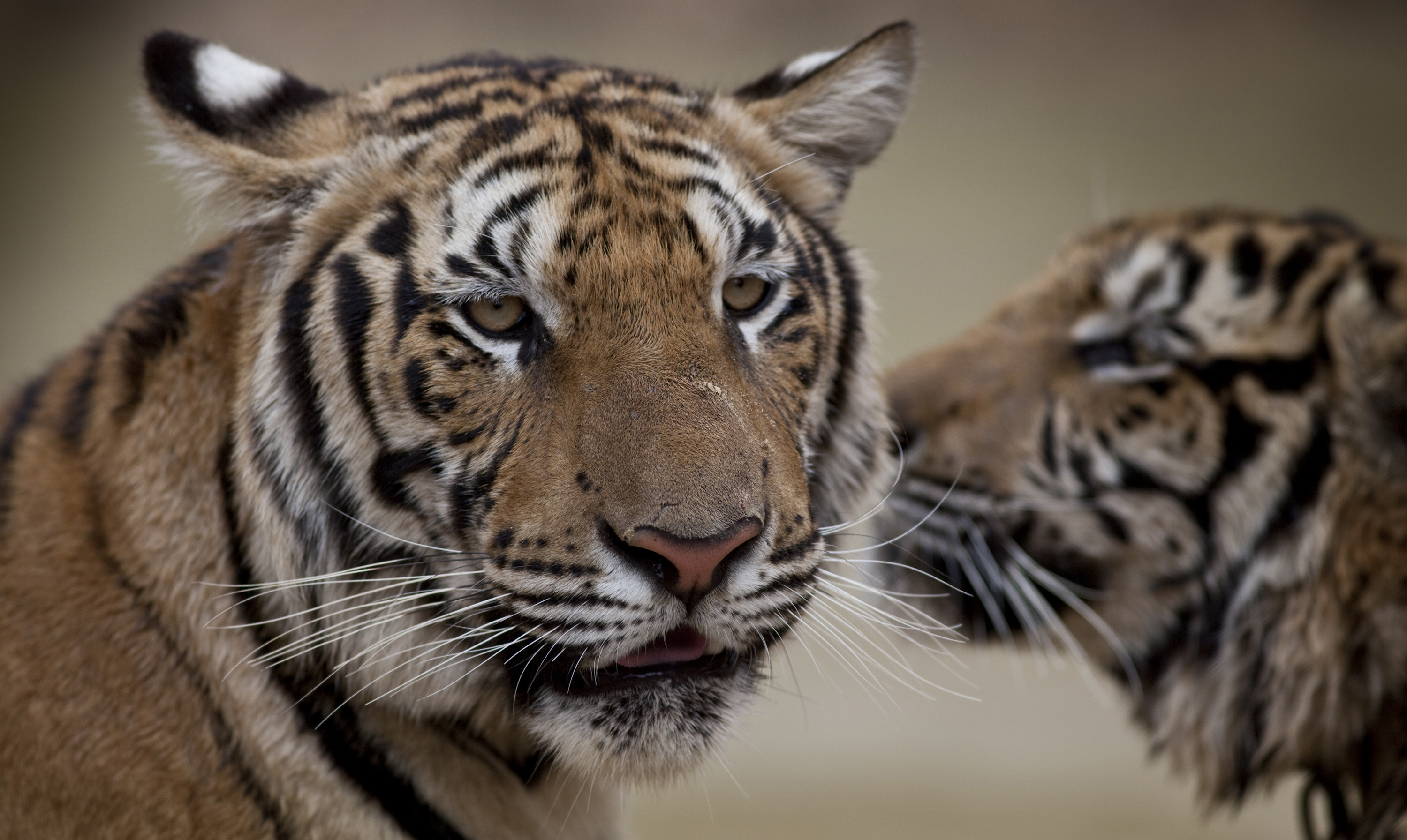 Two adult male tigers look on at Wat Pa Luangta Bua Yannasampanno Forest Monastery in Kanchanaburi, Thailand are shown in this photo taken Jan. 20.