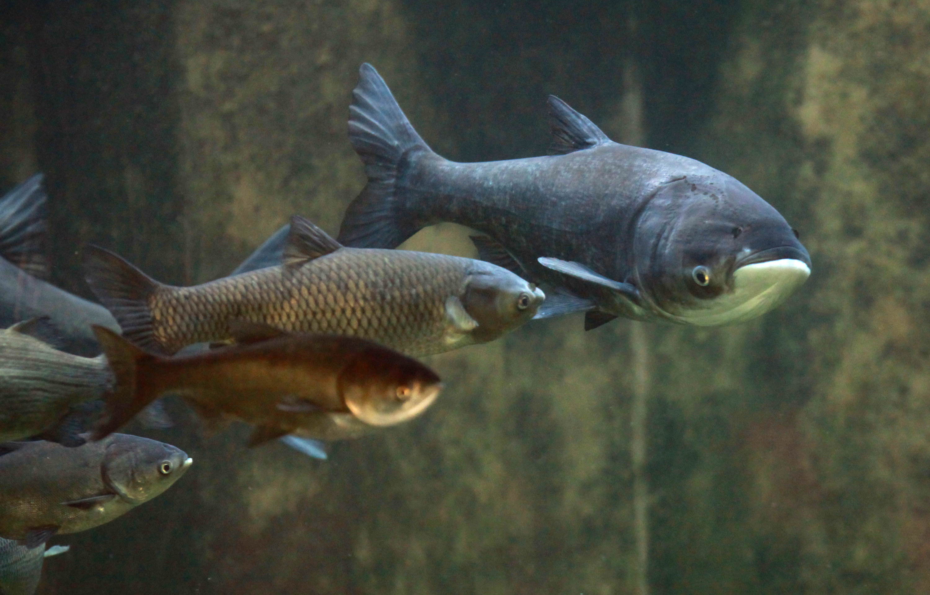 An Asian Bighead Carp swims in the Great Lakes Invasive Species tank at Chicago's Shedd Aquarium on Jan. 12.