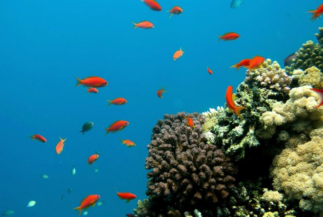 Fish swim near coral reefs.