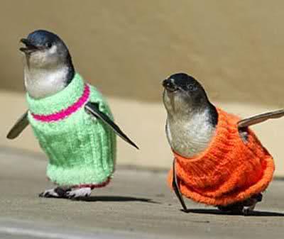 受到油污染的小企鵝,許多編織愛好者更寄了近千件毛衣,而且是從世界各地如雪片般的湧進來。
