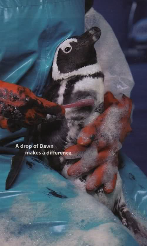 受到油污染的小企鵝,工作人員幫忙刷洗身體上的油漬。