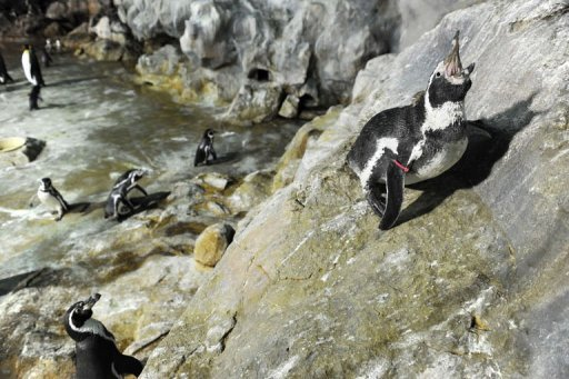 Photo illustration of a Humboldt penguin. The hunt was on Monday for a penguin that scaled a sheer rock face to escape from a Tokyo zoo, and was last ...