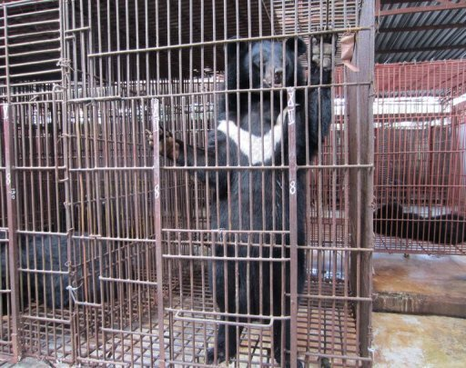 File picture of an Asiatic black bear in captivity in Vietnam. Also known as Himalayan black bears, seven of the creatures are set to be returned to t...