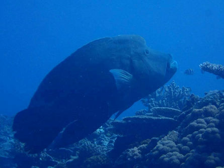 Killing of protected humphead wrasse incites outcry