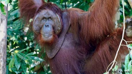 Orangutan conservation bears fruit on Borneo
