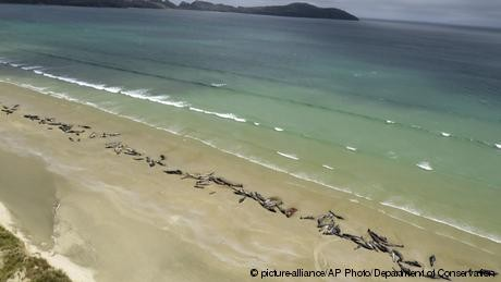Whale stranding in New Zealand leaves 145 dead
