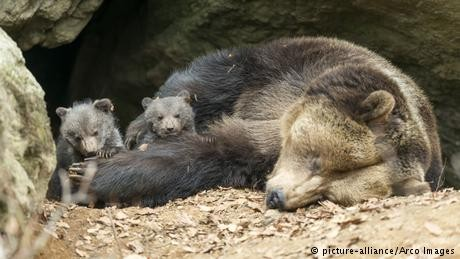 French animal activists want more bears for the Pyrenees