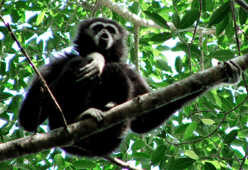 In this photo released by University of St. Andrew, a wild gibbon seen singing in August 2005 at Khao Yai national park, Thailand. Gibbons in Thailand...