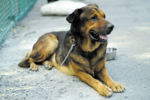 Napoleon, a German shepherd mix, sits in the yard at Animals Taiwan a few weeks after he was found roaming the streets in Taipei.