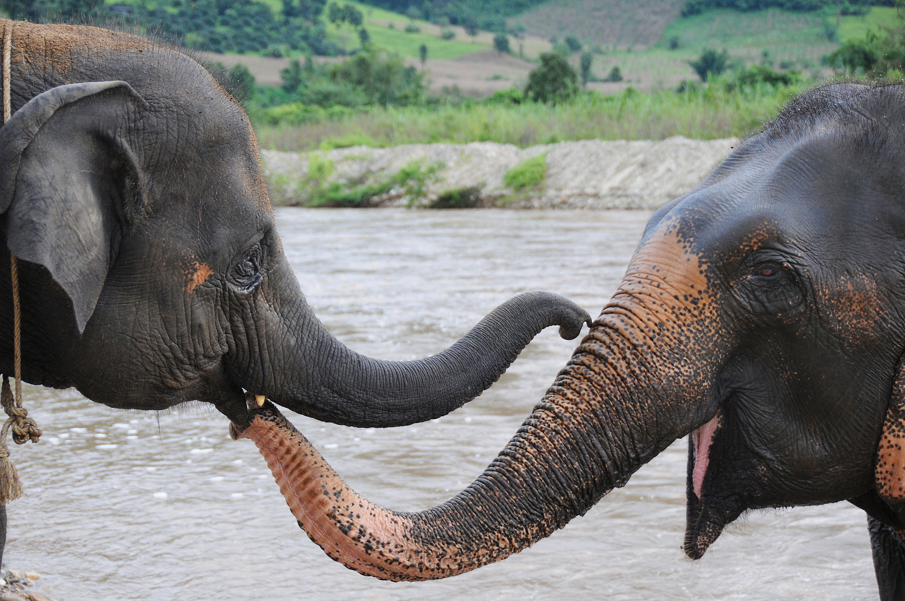 Happy to see each other, rescued elephants Faa-Sai, 4, left, and Mae Keaw, 50, both females, use their trunks to say hello at the Elephant Nature Park...