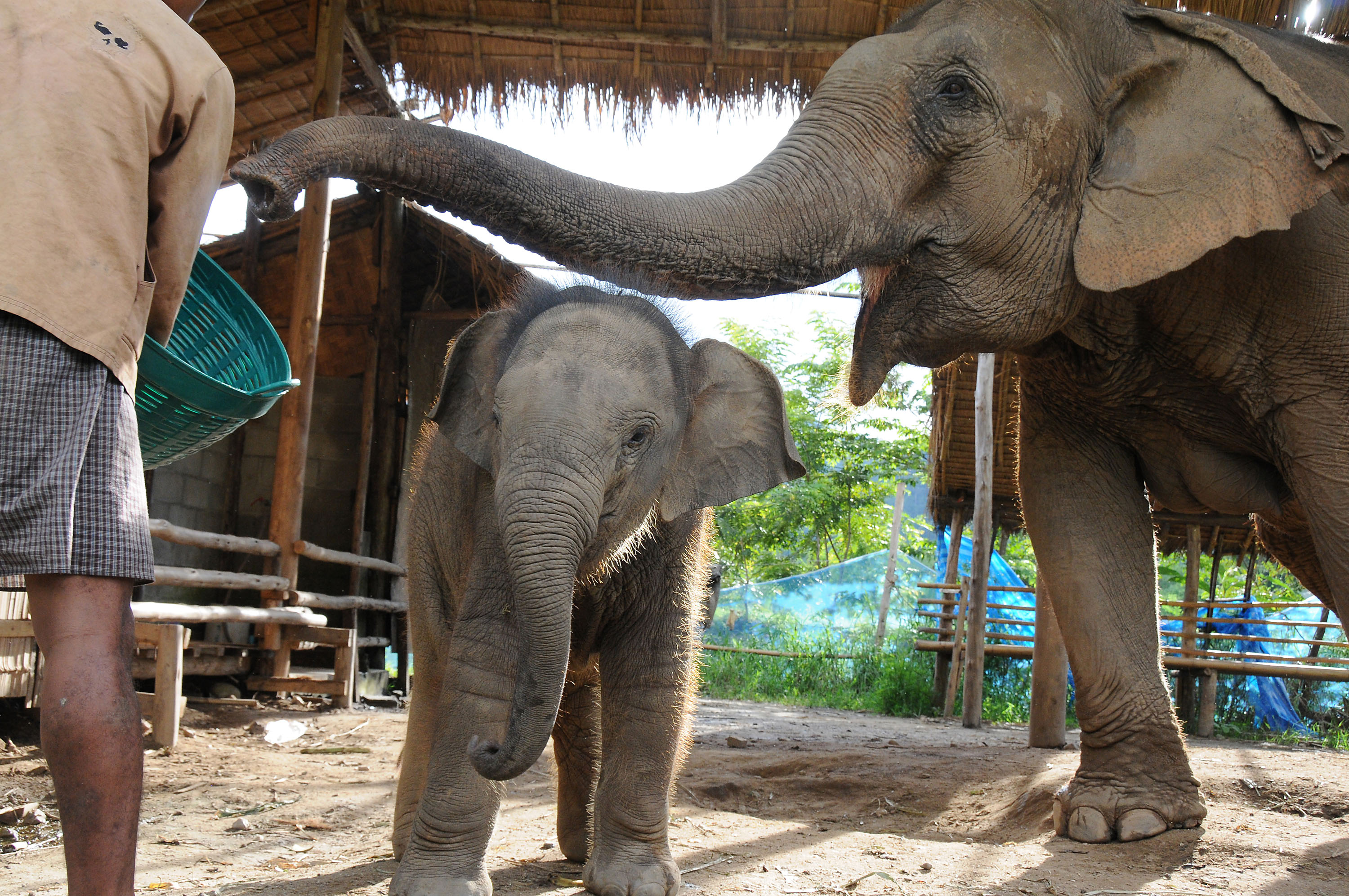 A male calf named Tong Kham, 4 months, and his mother, Mae Boon Chu, enjoy the pampered life at Elephant Nature Park in Chiang Mai province, Thailand....