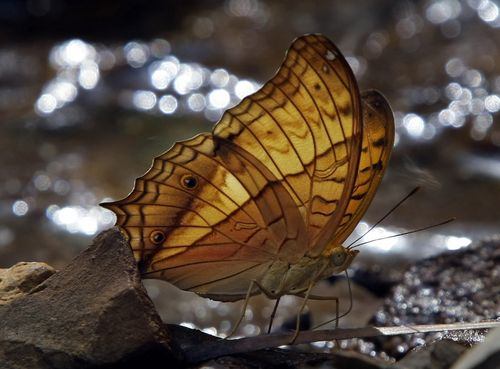 A butterfly is seen near coal mine in Simunjan, Sarawak, Malaysia on March 26. British naturalist Alfred Wallace wrote about tumbling into bogs and me...