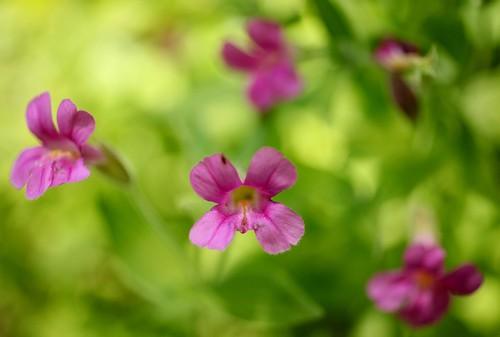 Pink monkey flowers