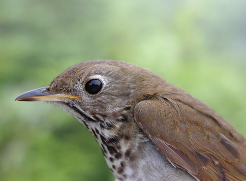 In this photo released by the Vermont Center for Ecostudies, a Bicknell's thrush is seen on East Mountain in East Haven, Vermont in July 2005.