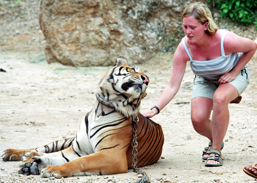 A tourist cautiously pets an adult tiger at Luang Ta Bua temple, in this 2003 file photo, near Kanchanaburi, 110 kilometers west of Bangkok. The templ...