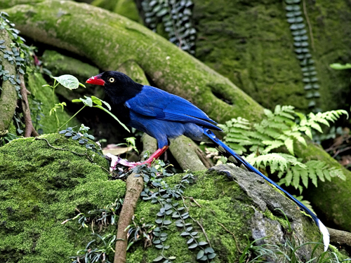 Taiwan blue magpie was selected to be the national bird yesterday after receiving over 520,000 votes from bird lovers around the world.