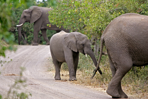 Elephants walk on a dirt road in the Kruger National Park in South Africa on Wednesday.