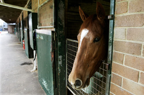A quarantined racehorse looks from its stable at Royal Randwick Racecourse in Sydney, Australia yesterday.