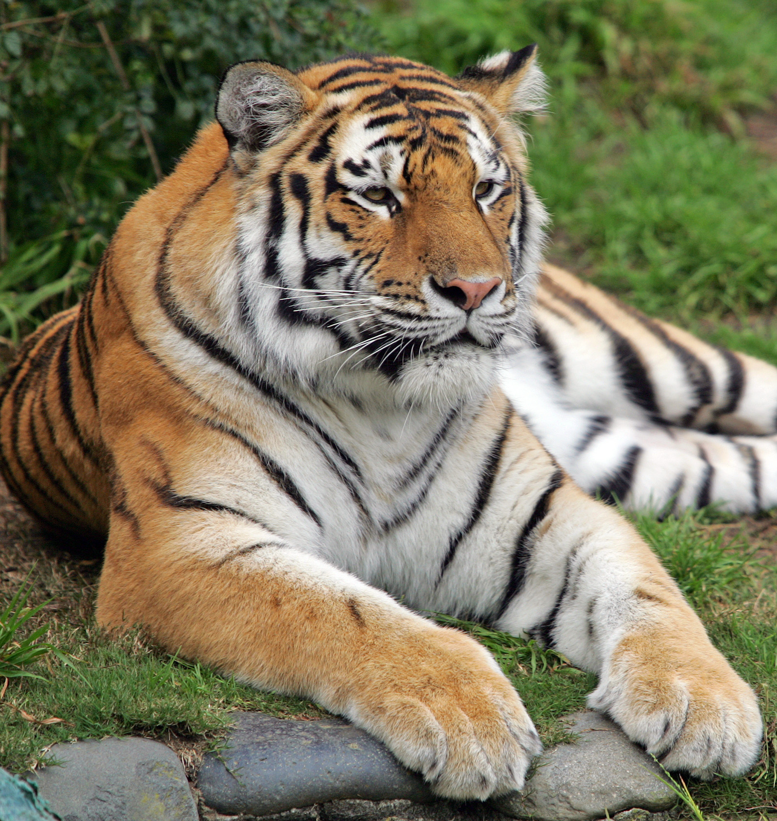 Tatiana, a female Siberian tiger, is seen in this file photo.