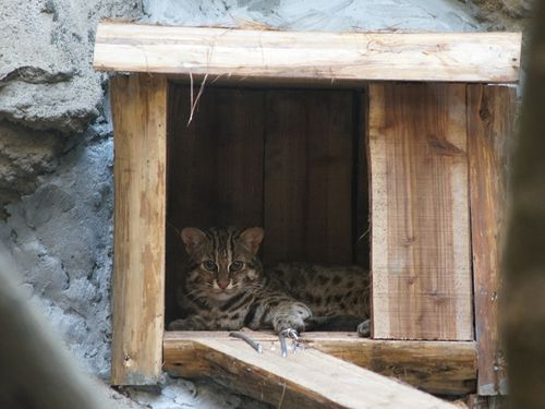 A leopard cat made her debut at Taipei Zoo Sunday, serving as a spokeswoman for conservation of the endangered species.  The leopard cat, named Chip...