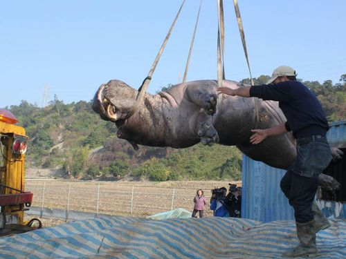 Diaphragm injury responsible for hippo's death, autopsy finds