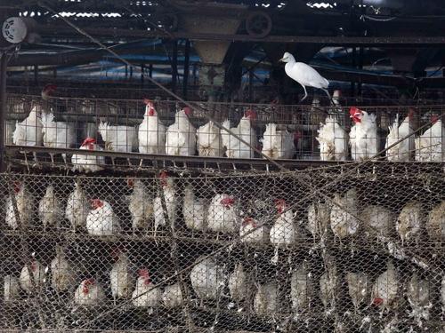 Farms in five counties now eyed in avian flu outbreak