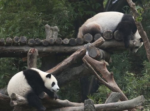 Taipei Zoo's giant panda, Yuan Zai , along with her keeper, won the Giant Panda Zoo Awards on Sunday, which is an online prize dedicated to panda con...
