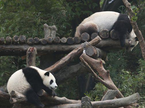 Taipei Zoo's Yuan Zai, staff win online panda awards