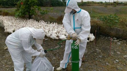 Over 600 geese culled in Chiayi due to avian flu