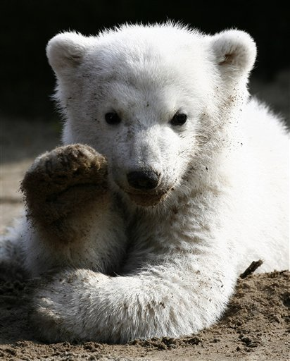 In this March 23, 2007 file photo, Knut, the polar bear cub, has its first public appearance with his keeper in the Berlin zoo. The Berlin zoo says a ...