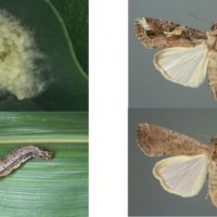 Next invasion of Taiwan from China could be fall armyworm