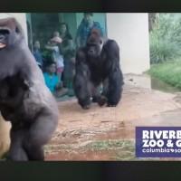 大猩猩們貼著牆壁躲雨 齜牙裂嘴驚恐萬狀