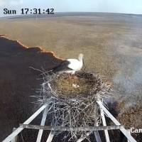 俄羅斯:白鸛高處築巢孵蛋 地面大火延燒不影響