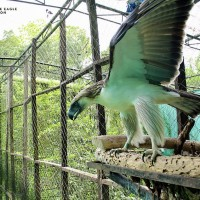 史上首次 菲律賓國寶鷹出借新加坡