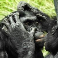 倭黑猩猩母親積極助兒「配對」成功 促其鞏固社會地位