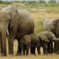 大象數量增長難負荷 非洲波扎那擬重啟狩獵