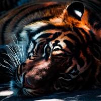 保育有成 孟加拉虎15年來首度增至114隻
