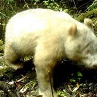 貓熊不只有黑白配! 全球首例「白子」大貓熊