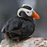 謎底揭曉!氣溫上升致阿拉斯加白令海大量海鳥死亡