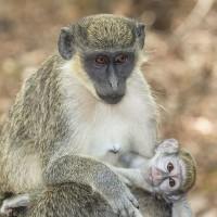 德國科學家研究:西非綠猴面對危險會有不同叫聲