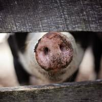 香港再現非洲豬瘟 須銷毀4700隻活豬
