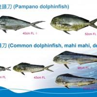 重要漁產資源 台日攜手研究「鬼頭刀」