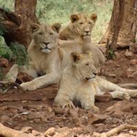 南非國家公園驚傳越獄事件 14隻獅子潛逃未歸