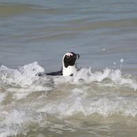 掠食合作 南非研究:黑腳企鵝與海鳥間的神奇默契