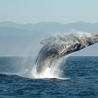 加拿大新法案 除科學目的外禁圈養鯨豚